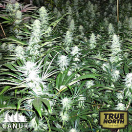 Super Lemon Haze Feminized Seeds (Canuk Seeds)