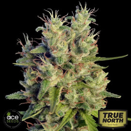 Super Malawi Haze Feminized Seeds (Ace Seeds)