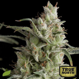 Super OG Kush FEMINIZED Seeds (Pyramid Seeds)