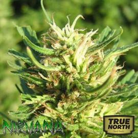 Super Skunk FEMINIZED Seeds (Nirvana Seeds)