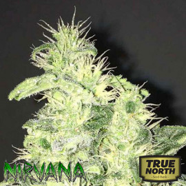 Supreme CBD Kush FEMINIZED Seeds (Nirvana Seeds)