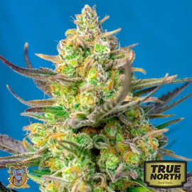 Sweet Cheese XL Auto Feminized Seeds (Sweet Seeds)