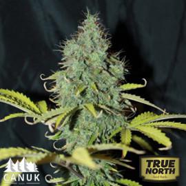 Sweet Tooth Auto Feminized Seeds (Canuk Seeds)