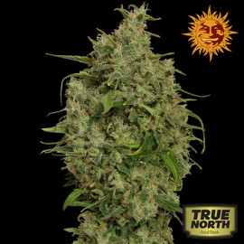 Sweet Tooth Feminized Seeds (Barney's Farm)