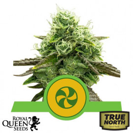 Sweet ZZ Automatic Feminized Seeds (Royal Queen Seeds)