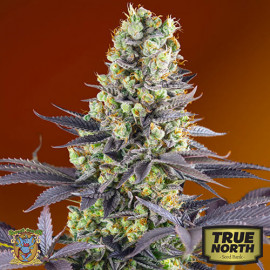 Sweet Zkittlez Feminized Seeds (Sweet Seeds)