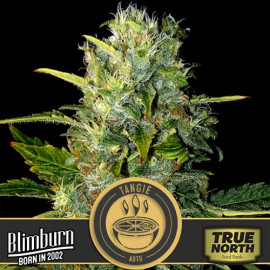 Tangie AUTO FEMINIZED Seeds (BlimBurn Seeds)