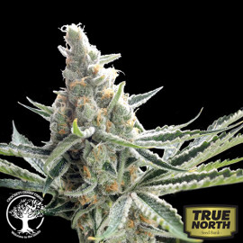 Crockett's Tangie REGULAR Seeds (Crockett Family Farms)