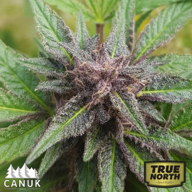 Tangie Scout Regular Seeds (Canuk Seeds)