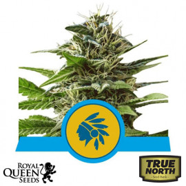 Tatanka Pure CBD Feminized Seeds (Royal Queen Seeds)