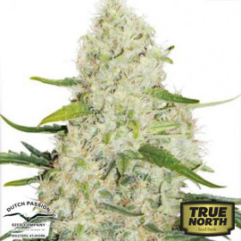 Think Big Auto Feminized Seeds (Dutch Passion)