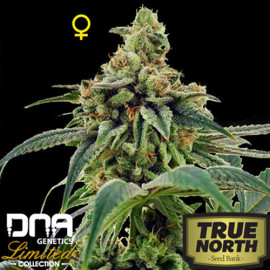 Training Day FEMINIZED Seeds - Limited Collection (DNA Genetics)