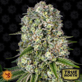 Tropicanna Banana Feminized Seeds (Barney's Farm)