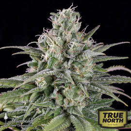 UK Cheese Auto Feminized Seeds (Humboldt Seed Org)