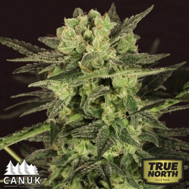Ultra Killer Fast Feminized Seeds (Canuk Seeds)