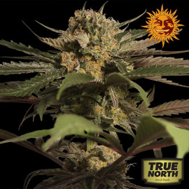 Violator Kush Feminized Seeds (Barney's Farm)
