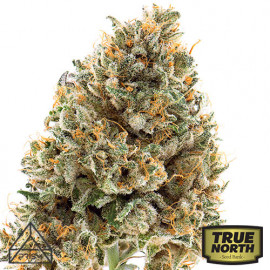 Wedding Cake Feminized Seeds (Prism Seeds)