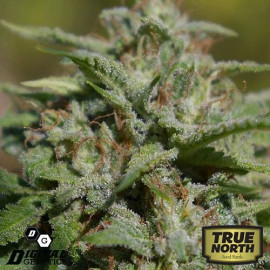 White Fire Widow OG REGULAR Seeds (Digital Genetics)