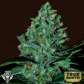 White Lavender FEMINIZED Seeds (G13 Labs)