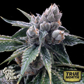 White Walker Kush FEMINIZED Seeds (DNA Genetics - Grow Your Own)