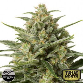 White Widow XXL Autoflowering Feminized Seeds (Dinafem)