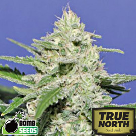 Widow Bomb REGULAR Seeds (Bomb Seeds)