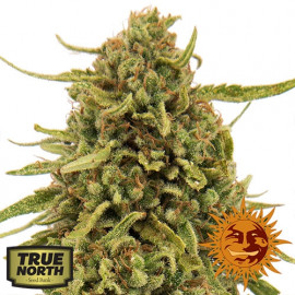 Widow Remedy REGULAR Seeds (Barney's Farm)