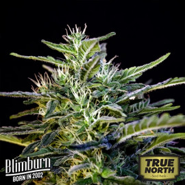 Wombat Feminized Seeds (BlimBurn Seeds)