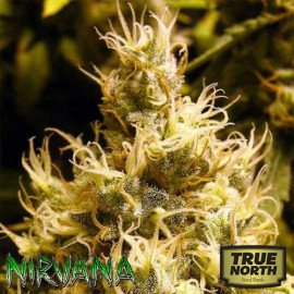 Wonder Woman FEMINIZED Seeds (Nirvana Seeds)