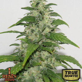 Yummy Feminized Seeds (Resin Seeds)