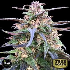 Zamal Bliss Feminized Seeds (Ace Seeds)