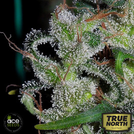Zamaldelica Regular Seeds (Ace Seeds)
