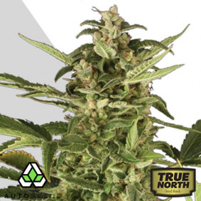Juicy Lucy  FEMINIZED Seeds (Auto Seeds)
