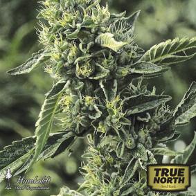 OG Kush Feminized Seeds (Humboldt Seed Org)