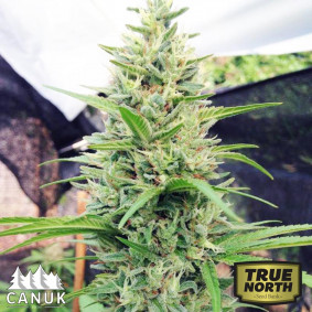 Spirit Quest Regular Seeds (Canuk Seeds)