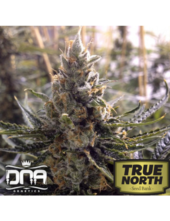 Kosher Tangie Feminized Seeds (DNA Genetics)