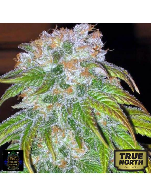 BC Big Bud Regular Seeds (BC Bud Depot)