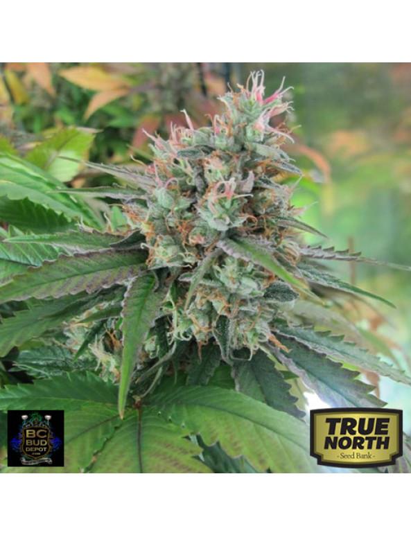 CBD God Regular Seeds (BC Bud Depot)