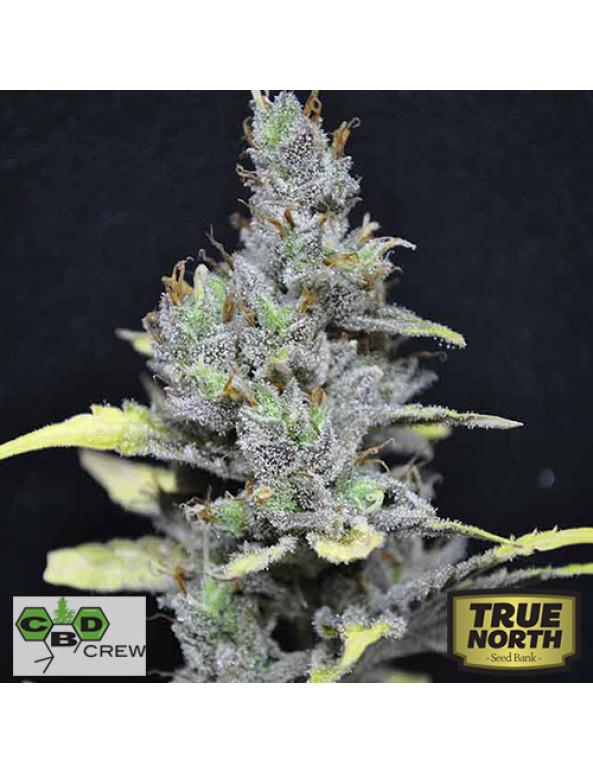 CBD Medi Haze Feminized Seeds (CBD Crew)