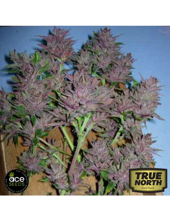 Pakistan Chitral Kush Regular Seeds (Ace Seeds)
