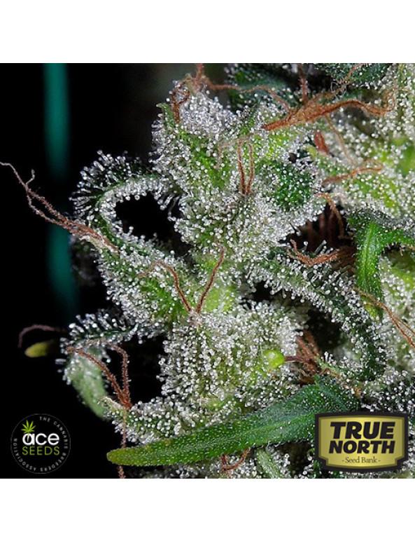 Zamaldelica Regular Seeds (Ace Seeds)
