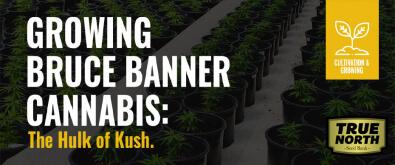 Growing Bruce Banner Cannabis - The Hulk Of Kush