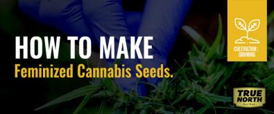 How To Make Feminized Cannabis Seeds