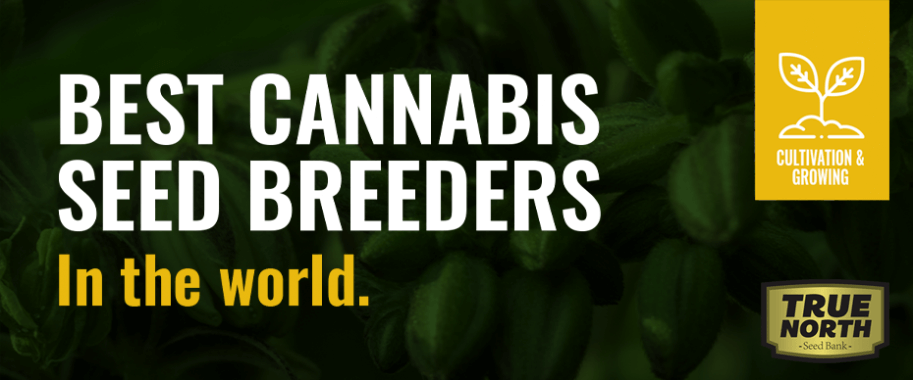 Best Cannabis Seed Breeders In The World