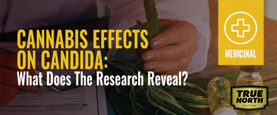 Cannabis Effect On Candida - What Does The Research Reveal?