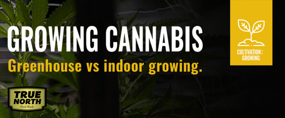 Growing Cannabis in a Greenhouse Vs Growing Indoors