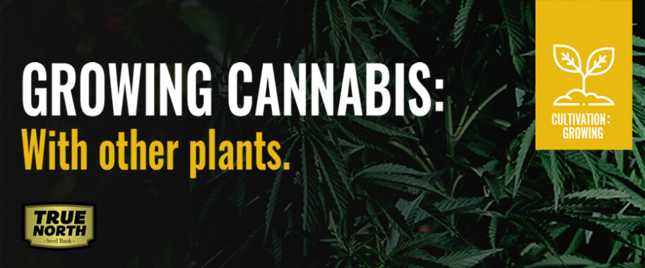 Growing Cannabis With Other Plants: Increase Yield & Prevent Pests