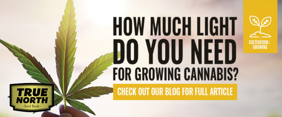 How Much Light Do You Need For Growing Cannabis?