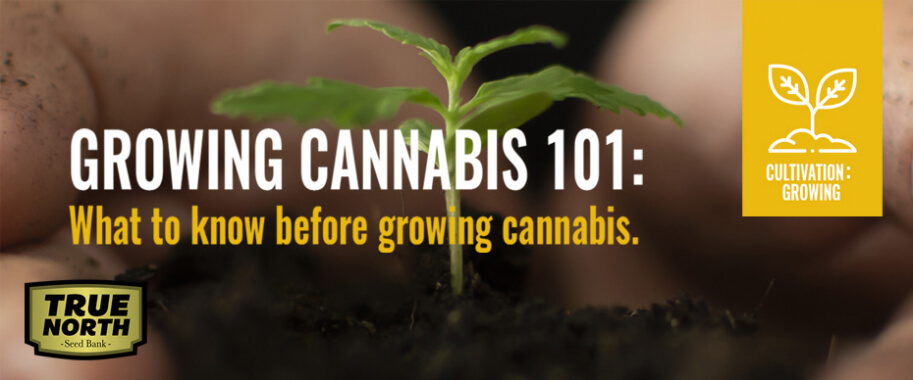 Growing Cannabis 101: What To Know Before Growing Cannabis