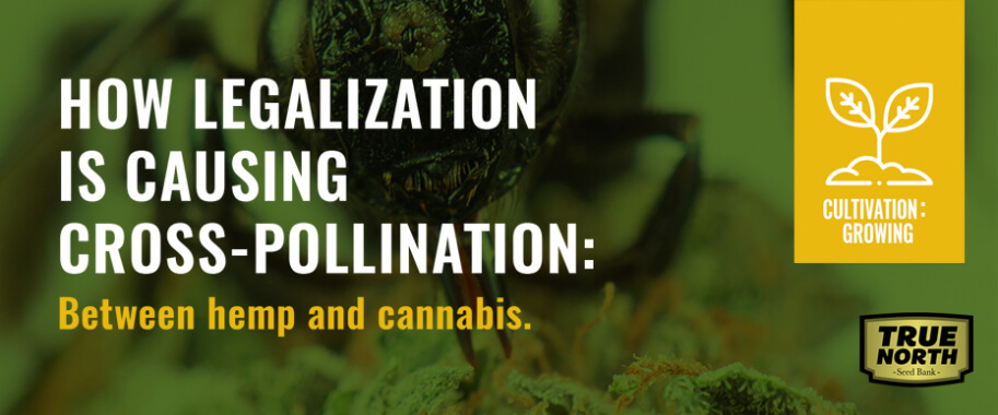 How Legalization Is Causing Cross-pollination Between Hemp And Cannabis